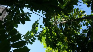 The Canopy From Below Of The Tree