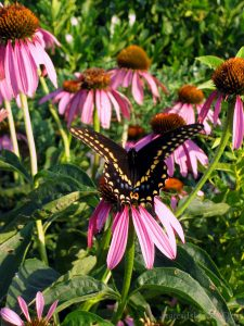 A Beautiful Butterfly On The Echinacea Flowers At South Beach Boardwalk