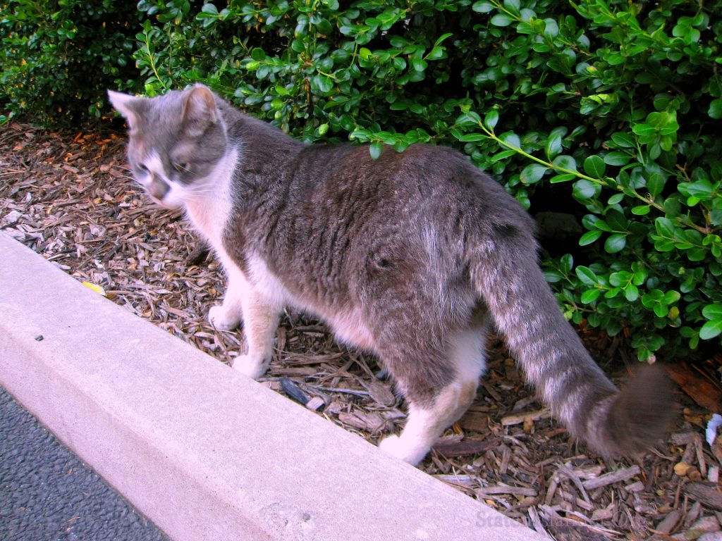 Stray Cat With Raccoon Tail Living Behind Staten Island North Shore Supermarket (10)
