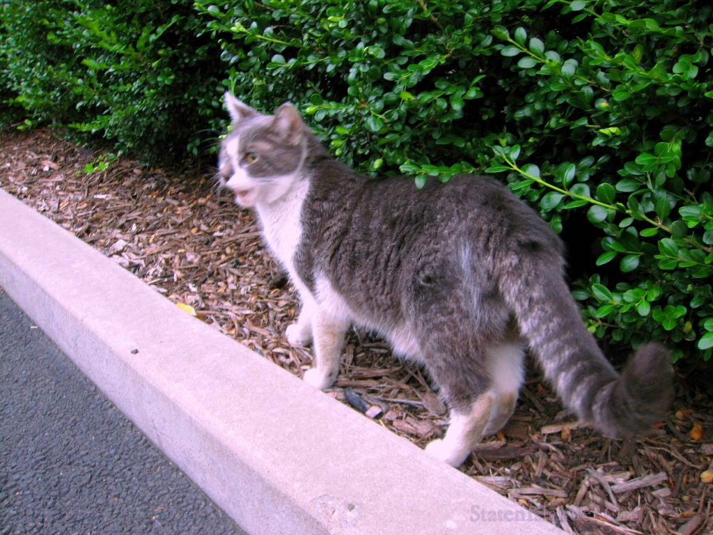 Stray Cat With Raccoon Tail Living Behind Staten Island North Shore Supermarket (9)