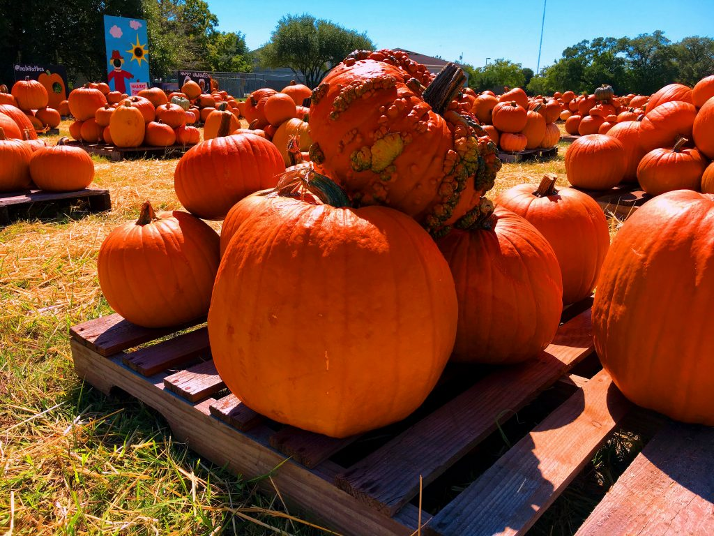 Pumpkin Patch. Image Credit- AgriLife Today. License By CC 3.0