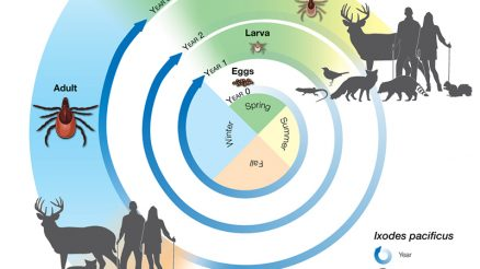 Life Cycle of The Tick From The CDC