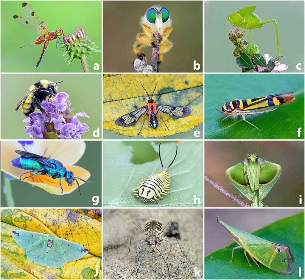 """Insect diversity. (A) Pennants (Libellulidae): Dragonflies are among the most familiar and popular insects, renowned for their appetite for mosquitoes. (B) Robber flies (Asilidae): These sit-and-wait predators often perch on twigs that allow them to ambush passing prey; accordingly they have enormous eyes. (C) Katydids (Tettigoniidae): This individual is one molt away from having wings long enough to fly (that also will be used to produce its mating song). (D) Bumble bees (Apidae): Important pollinators in temperate, montane, and subpolar regions especially of heaths (including blueberries and cranberries). (E) Wasp moths (Erebidae): Compelling mimics that are hyperdiverse in tropical forests; many are toxic and unpalatable to vertebrates. (F) Leafhoppers (Cicadellidae): A diverse family with 20,000 species, some of which are important plant pests; many communicate with each other by vibrating their messages through a shared substrate. (G) Cuckoo wasps (Chrysididae): Striking armored wasps that enter nests of other bees—virtually impermeable to stings—to lay their eggs in brood cells of a host bee. (H) Tortoise beetles (Chrysomelidae): Mostly tropical plant feeders; this larva is advertising its unpalatability with bold yellow, black, and cream colors. (I) Mantises (Mantidae): These voracious sit-and-wait predators have acute eyesight and rapid predatory strikes; prey are instantly impaled and held in place by the sharp foreleg spines. (J) Emerald moths (Geometridae): Diverse family of primarily forest insects; their caterpillars include the familiar inchworms. (K) Tiger beetles (Cicindelidae): """"Tigers"""" use acute vision and long legs to run down their prey, which are dispatched with their huge jaws. (L) Planthoppers (Fulgoridae): Tropical family of splendid insects, whose snouts are curiously varied and, in a few lineages, account for half the body mass. Images credit: Michael Thomas (photographer)."""
