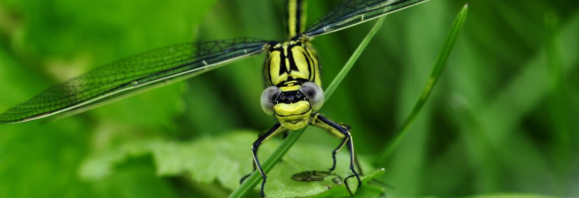 Bright Yellow and Black Dragonfly