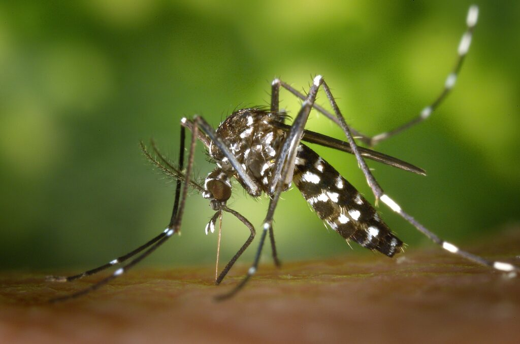 Mosquito Sting. Image Credit - WikiImages